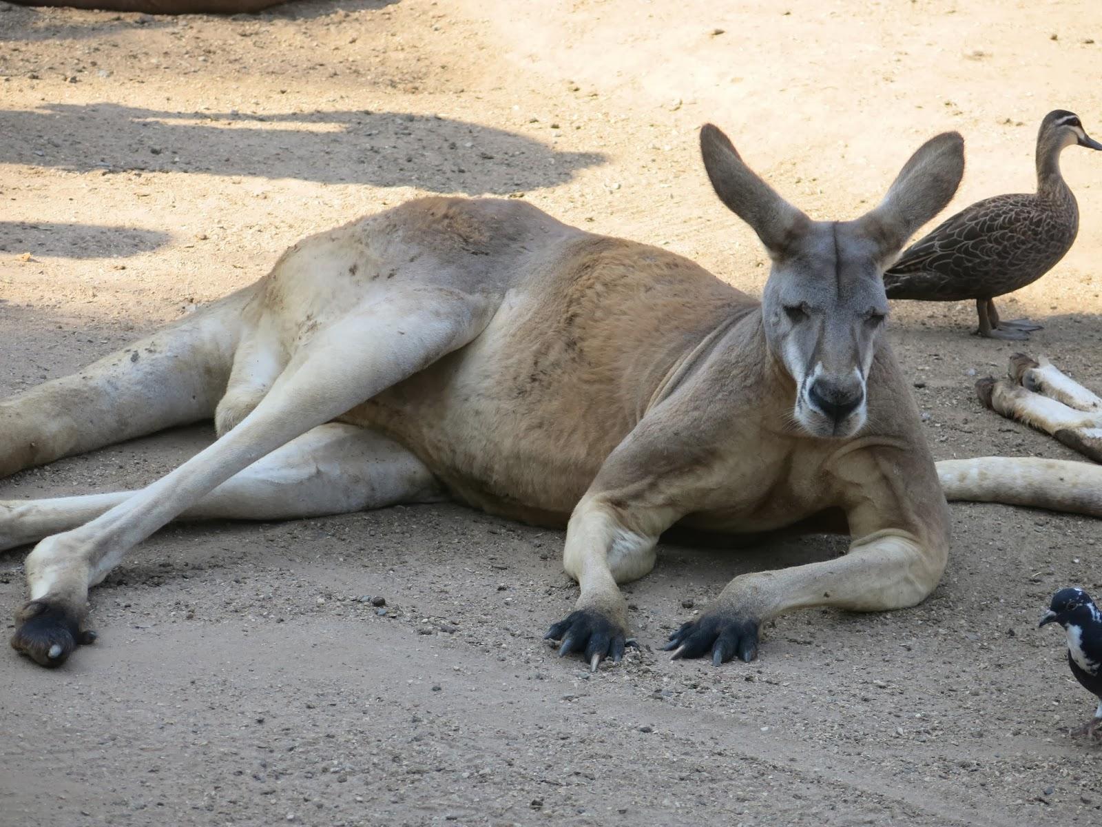 【澳洲】抱無尾熊 + 餵袋鼠一次解決的可倫賓動物園 – 黃金海岸9天6夜親子遊自由行之七